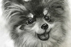 waa-jackings-pomeranian-winston-mini-hr-1